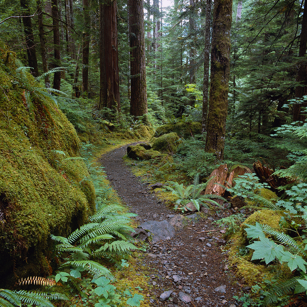 Trail in Temperate Rainforest Olympic National Forest, Washington, USA