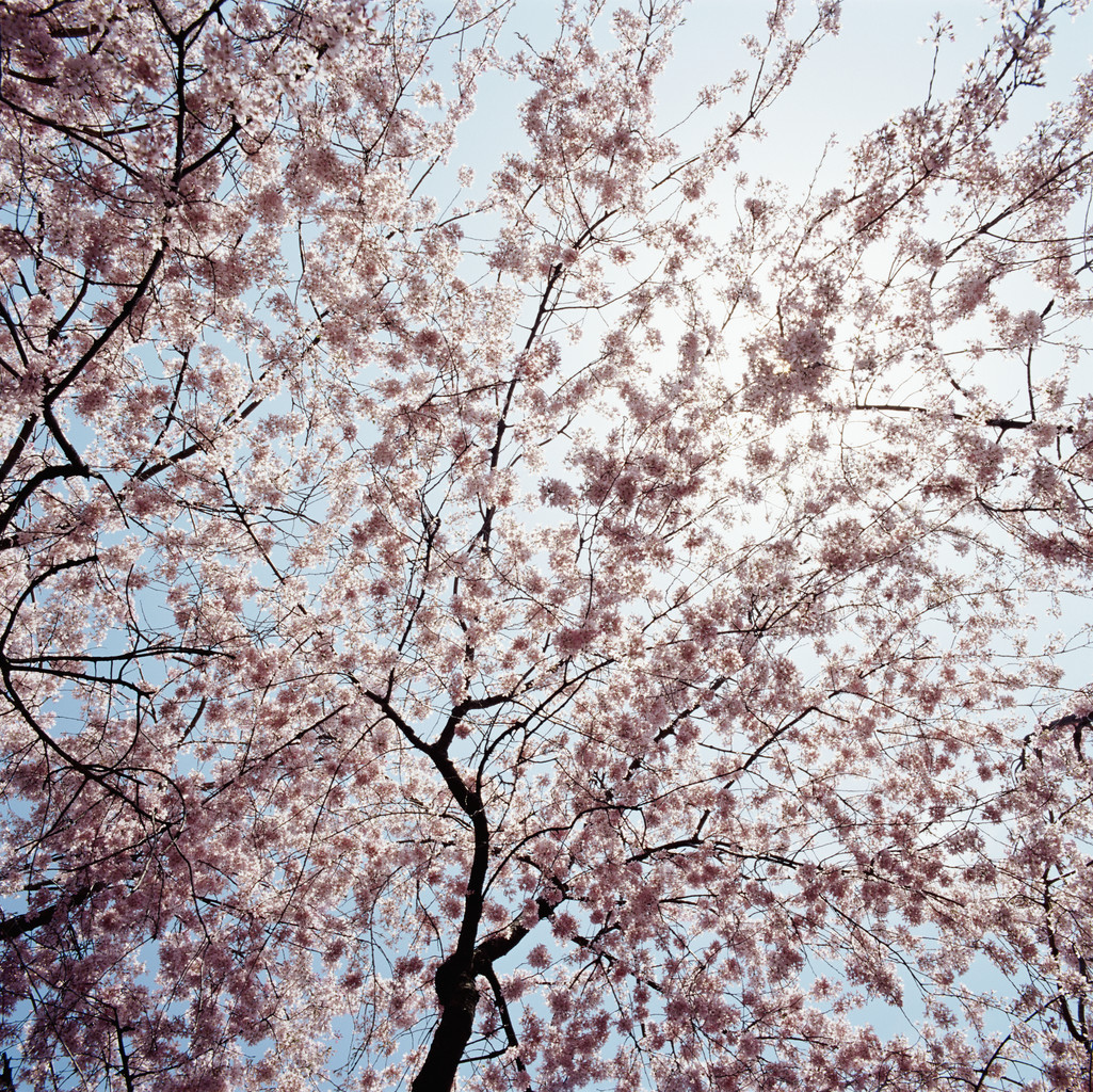 A cherry tree --- Image by © Royalty-Free/Corbis