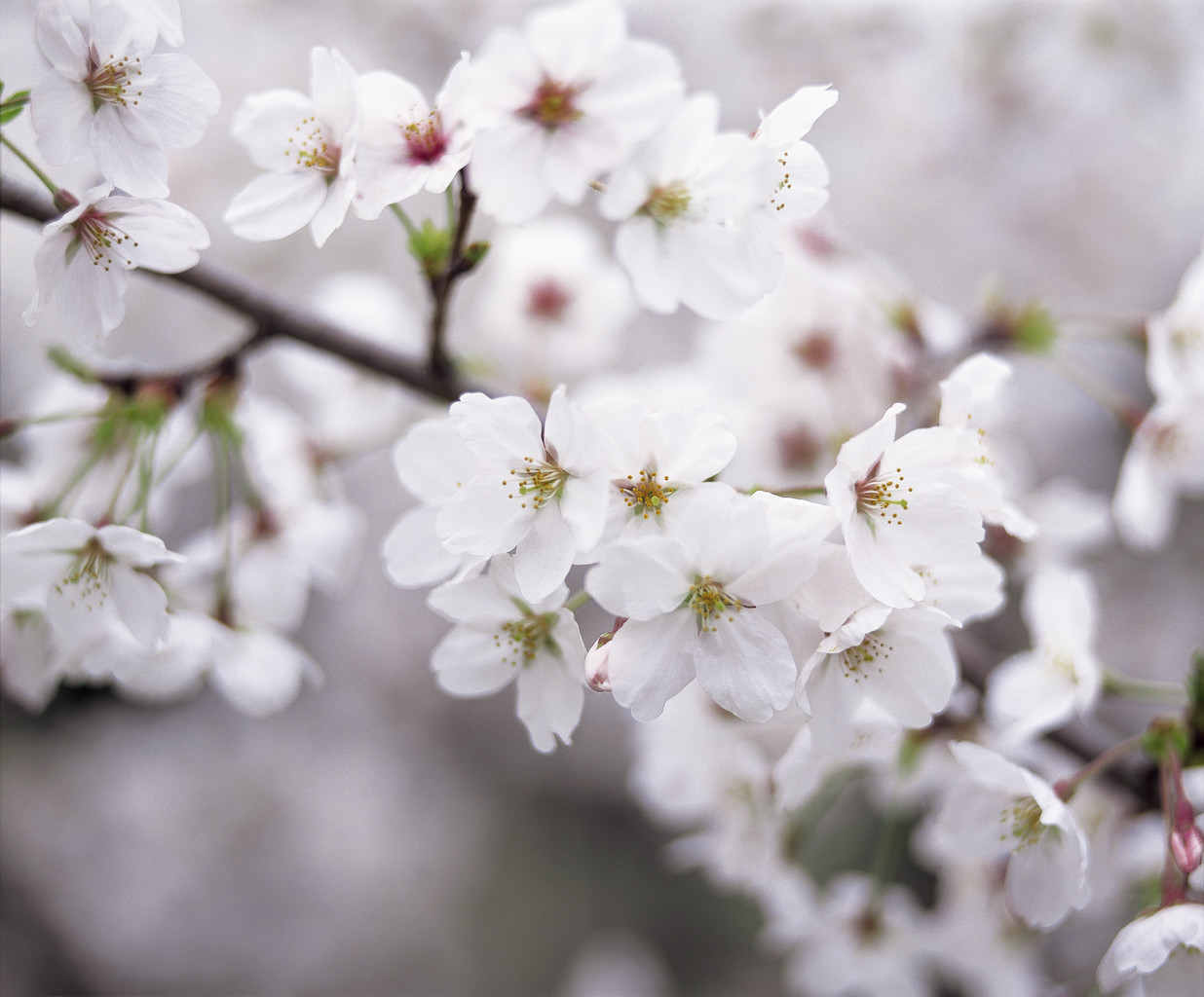 Cherry Blossoms --- Image by © Royalty-Free/Corbis