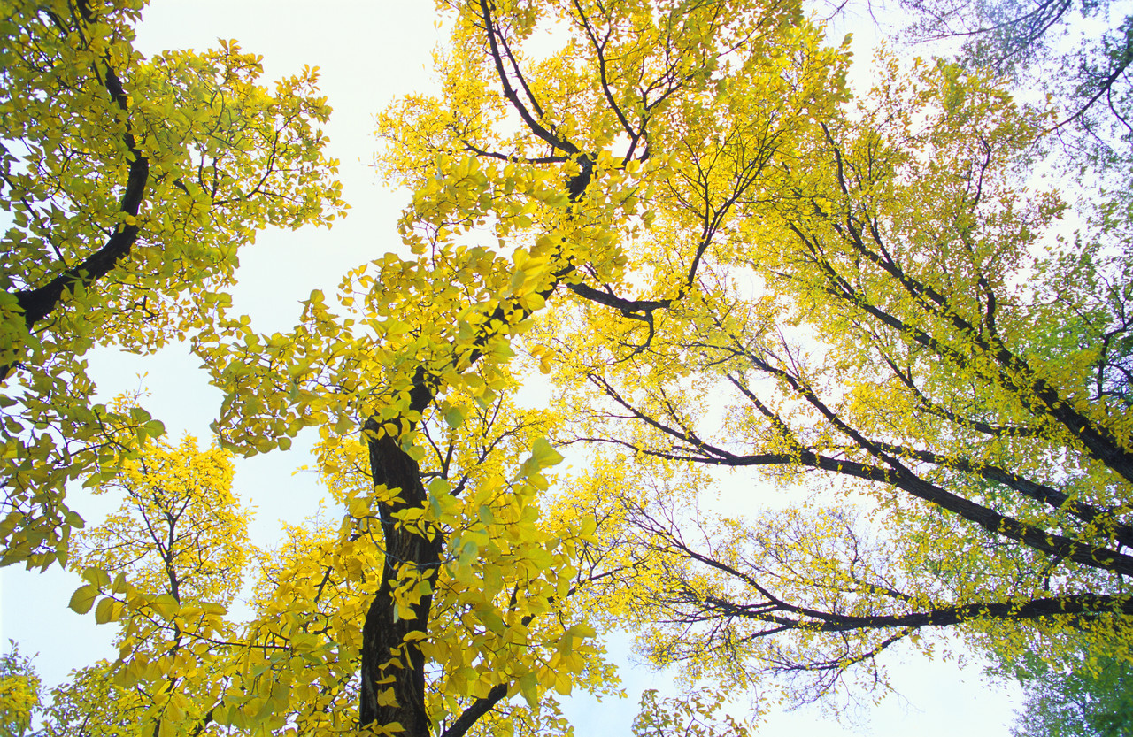 30 Jan 2003 --- Yellow Autumn Leaves On Trees --- Image by © Royalty-Free/Corbis