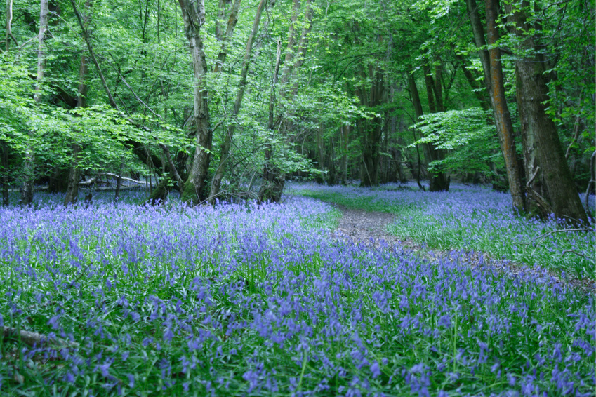 Carpet of Bluebells and Winding Path in a Sussex Wood